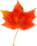 белизна клена листьев осени изолированная предпосылкой Стоковые Фотографии RF