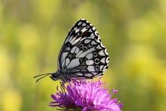 белизна мраморизованная бабочкой Стоковая Фотография RF