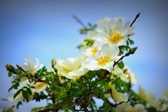 Белизна Невады Розы с желтым цветом стоковое изображение