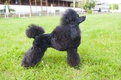 белизна недели щенка миниатюрного пуделя 2 3 4 6 дней предпосылки растущая стоковые фото
