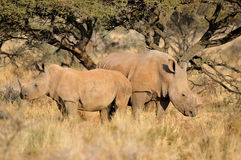 белизна носорога мати икры Стоковые Фото