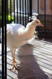 белизна добросердечного павлина птиц редкая Стоковое Фото