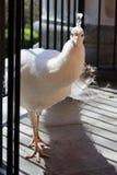 белизна добросердечного павлина птиц редкая Стоковое Изображение