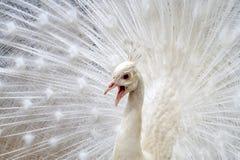белизна добросердечного павлина птиц редкая Стоковые Фото