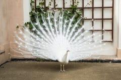 белизна добросердечного павлина птиц редкая Стоковая Фотография