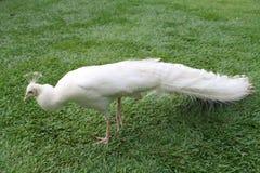 белизна добросердечного павлина птиц редкая Стоковые Изображения RF