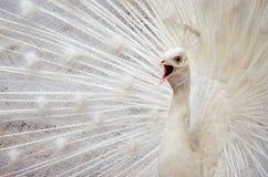 белизна добросердечного павлина птиц редкая Стоковая Фотография RF