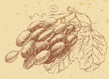 белизна лозы предпосылки изолированная виноградиной Стоковые Изображения