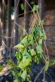 белизна лозы предпосылки изолированная виноградиной Стоковые Фото