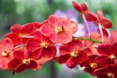 белизна орхидеи изоляции красная Стоковая Фотография RF