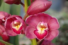 белизна орхидеи изоляции красная Стоковое Фото