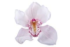 белизна орхидеи предпосылки горизонтальным снятая пинком Стоковые Фото