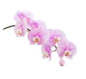 белизна орхидеи предпосылки горизонтальным снятая пинком Стоковые Изображения RF