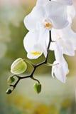 белизна орхидеи предпосылки зеленая Стоковые Фотографии RF