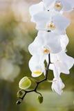белизна орхидеи предпосылки зеленая Стоковое Изображение RF