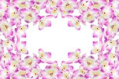 белизна орхидеи предпосылки пурпуровая Стоковое Фото