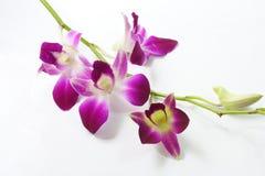 белизна орхидеи предпосылки пурпуровая Стоковые Фото