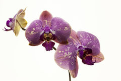 белизна орхидеи предпосылки пурпуровая Стоковое фото RF