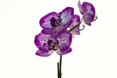 белизна орхидеи предпосылки пурпуровая Стоковые Изображения