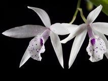 белизна орхидеи предпосылки черная Стоковые Изображения