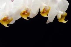 белизна орхидеи предпосылки черная Стоковое Фото