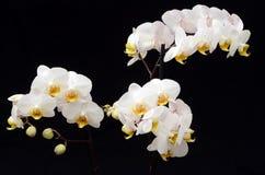 белизна орхидеи предпосылки черная Стоковое Изображение RF