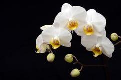 белизна орхидеи предпосылки черная Стоковая Фотография