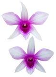 Белизна орхидеи фиолетовая Стоковое Фото