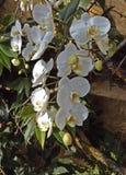 Белизна орхидеи Phalenopsis Стоковое Изображение