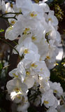 Белизна орхидеи Phalenopsis Стоковые Фото