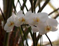 Белизна орхидеи Phalenopsis Стоковое Изображение RF