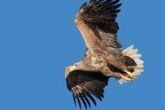 белизна орла замкнутая морем Стоковое Фото