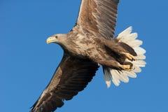 белизна орла замкнутая морем Стоковые Изображения