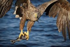 белизна орла замкнутая рыболовством стоковые изображения