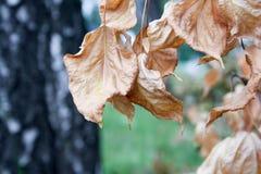 белизна осени изолированная принципиальной схемой Желтый цвет листьев осени сухой Стоковые Изображения RF