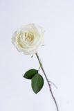 Белизна открытая подняла в ясную вазу Стоковая Фотография