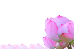 белизна лотоса изображения цветка предпосылки Стоковая Фотография