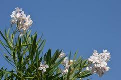 Белизна олеандра Стоковая Фотография RF
