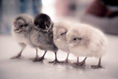 белизна пасхи цыпленоков изолированная травой Стоковое Фото