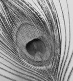 Белизна пера павлина снятая макросом черная Стоковые Фотографии RF