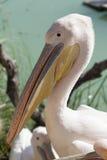 Пеликан Стоковая Фотография RF