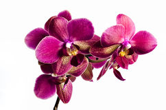 белизна пинка орхидеи предпосылки стоковое фото