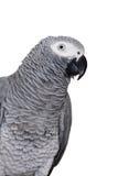 белизна попыгая африканского серого цвета изолированная стоковое фото