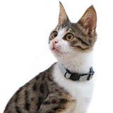 белизна предпосылки изолированная котом Стоковые Изображения