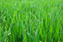 белизна предпосылки изолированная травой Стоковые Фото