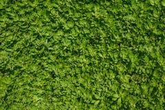 белизна предпосылки изолированная травой Стоковое Фото
