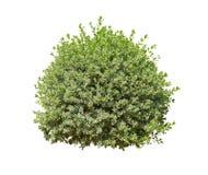 белизна предпосылки изолированная bush Стоковое Изображение