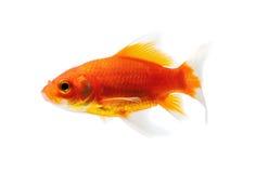 белизна предпосылки изолированная goldfish Стоковые Изображения RF