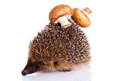 белизна предпосылки изолированная hedgehog Стоковое Фото