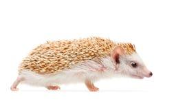 белизна предпосылки изолированная hedgehog Стоковое Изображение